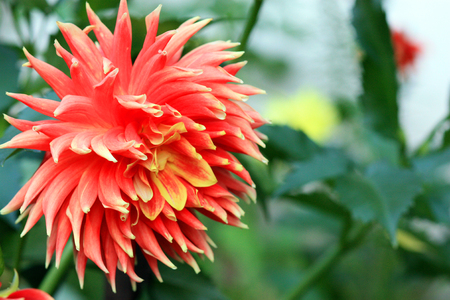 Orange dahlia flower in the garden 免版税图像