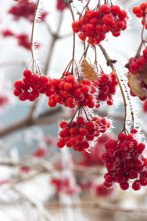 Branch of red ripe ash berries in snow Stock Photo