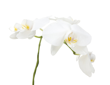 Branch of a white orchid on a white backgraund 版權商用圖片