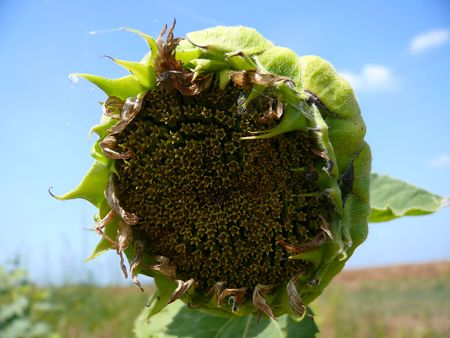 Fresh new sunflower about to bloom and provide seeds. Imagens