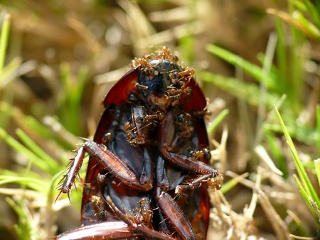 Hundreds of ants eating a cockroach in the grass.