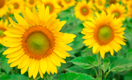 Yellow sunflower blossom boast yourselves for the glittering sunshine in the field