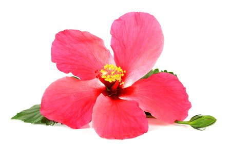 Pink Hibiscus flower isolated on  white background.