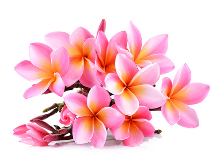 Pink Plumeria flowers isolated on white background.