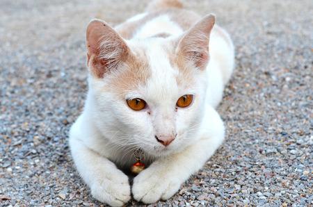 squint: White Thai cat sitting on the gravel.