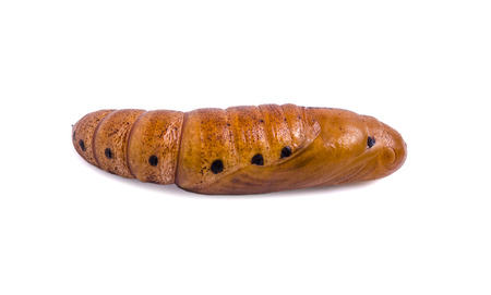 transfigure: Butterfly Pupa isolated on white background. Stock Photo