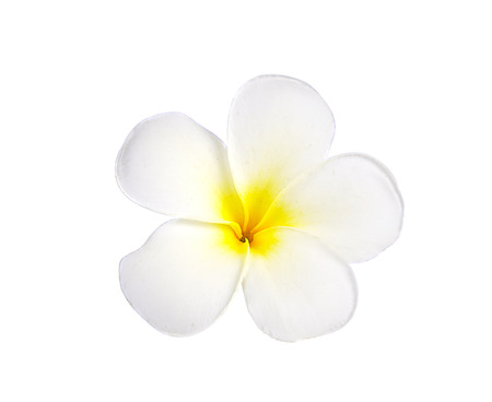 fiore isolato: Frangipani o Plumeria fiore isolato su sfondo bianco. Archivio Fotografico