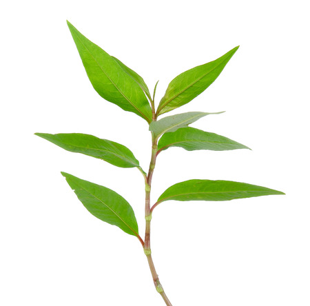 laksa: Hot mint, Vietnamese mint isolated on white background. Stock Photo