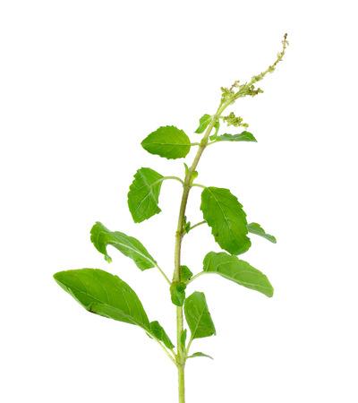 tulasi: Holy basil or tulsi leaves isolated over white background.