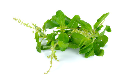 tulasi: Holy basil or tulsi leaves isolated over white background.