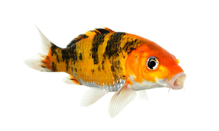 Koi fish isolated on the white background. 스톡 콘텐츠