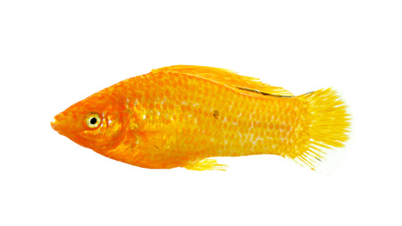 poecilia: Molly fish isolated on the white background. Stock Photo