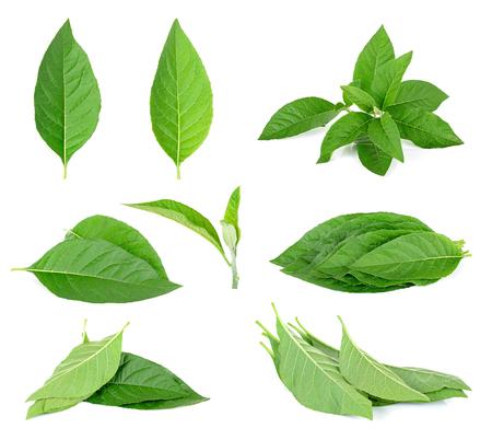 antidote: Adhatoda vasica or medicinal Basak leaf isolated on white.