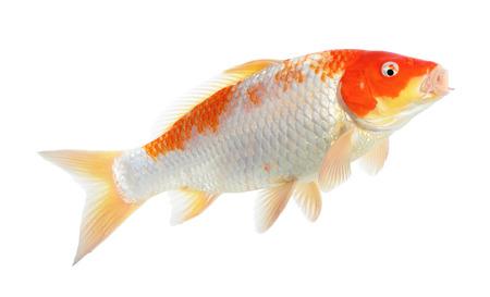 Rote und weiße Koi Fisch auf dem weißen Hintergrund isoliert