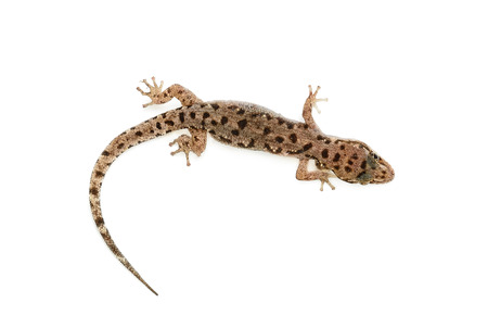 brown spotted gecko reptile isolated on white background.
