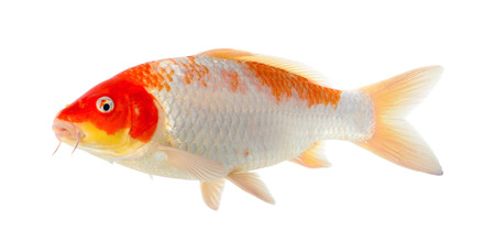 Koi fish isolated on the white background.