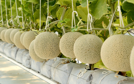melon field: Cantaloupe melon growing in a greenhouse .