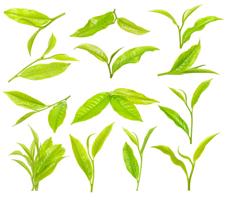 Tea leaf isolated on the white background.