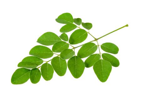 Moringa oleifera leaf isolated on white clipping path