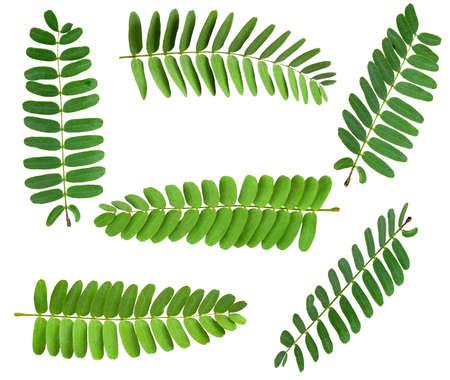 set Tamarind leaf isolated on white background