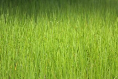 geen: green rice field in morning light