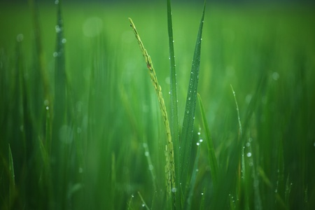 young rice in green field photo
