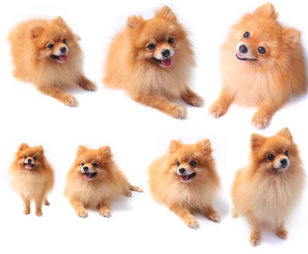pomeranian: pomeranian dog isolated white seven in one
