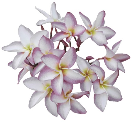 group of frangipani blooming isolated on white photo