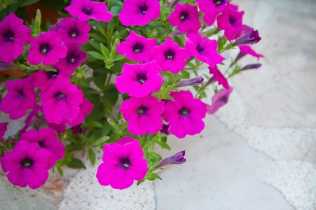 magenta flowers: magenta flowers on white marble background