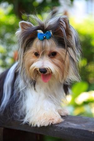pampered pets: biver yorkshire terrier dog in home garden