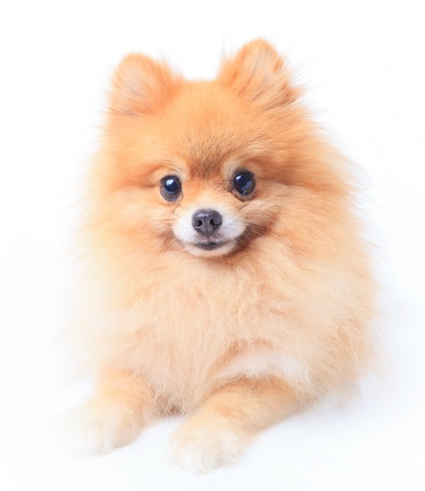 pomeranian dog sitting in front of white  photo