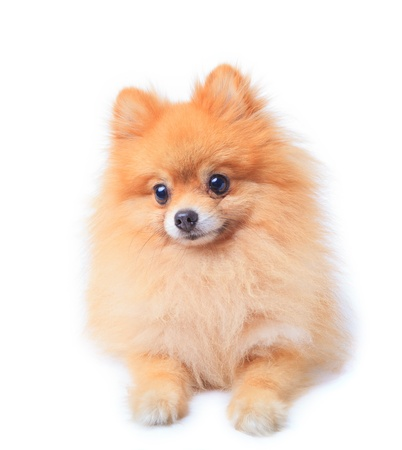 pomeranian dog sitting in front of white  Stock Photo - 12724890