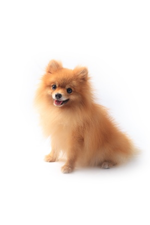 pomeranian dog sitting on white background photo