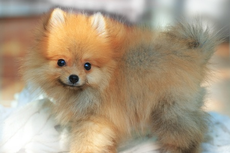 face of pomeranian dog two month age photo