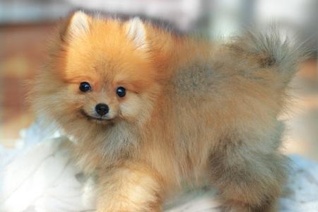 pomeranian: face of pomeranian dog two month age Stock Photo