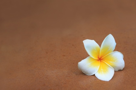 white and yellow frangipani flowers on brown sand stone with fresh dew water Stock Photo - 13330694