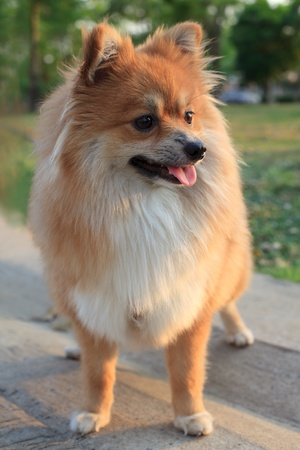 face of pomeranian dog standing in the park Stock Photo - 13378314