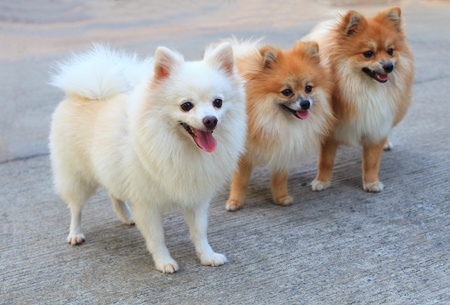 group of white pomeranian dog and brown color Stock Photo - 13378292