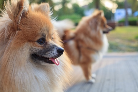 face of pomeranian dogs photo