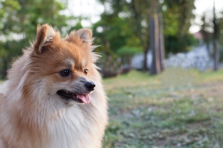 face of pomeranian doge in the garden Stock Photo - 13538432