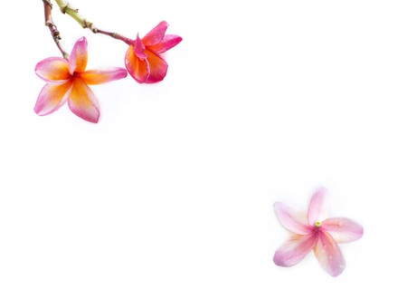 pink frangipani flower on white background Stock Photo - 13592391