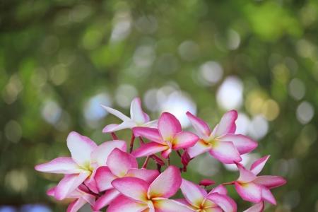 frangipani flowers and bogeh background photo