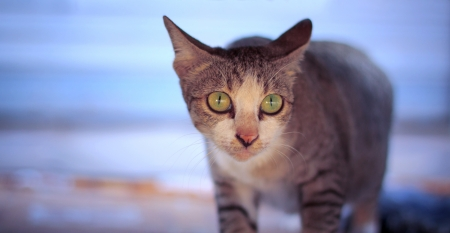 thai native cats with eyes contact photo