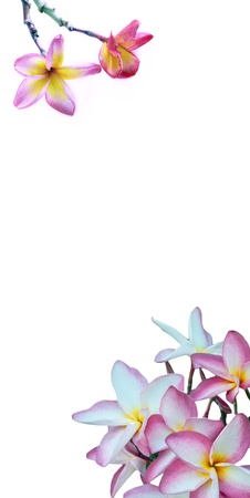 pink frangipani flower on white background vertical form photo