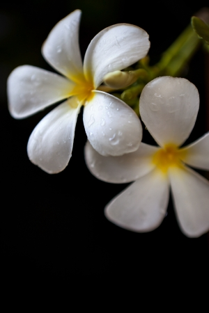 fresh dew on frangipani flowers leave with deep black background vertical form Stock Photo - 13699454