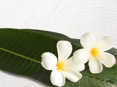 white frangipani and green leaves on white clothes texture Stock Photo