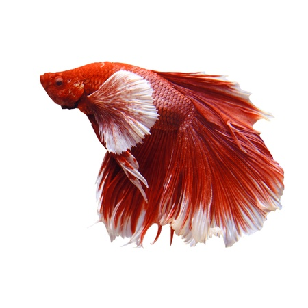 red and white thai fighting fish isolated white photo