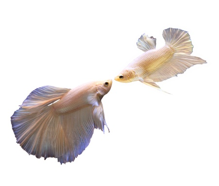 betta: white thai fighting fish and fighting isolated white
