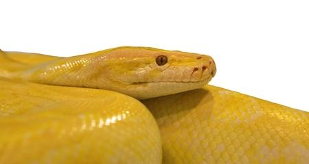 golden python snake isolated white Stock Photo - 13903807