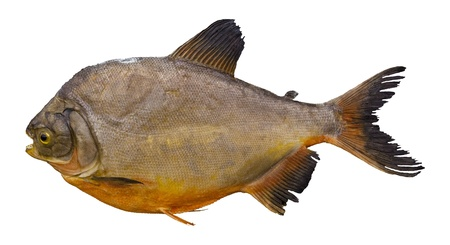 pacu: pacu fish isolated white Stock Photo
